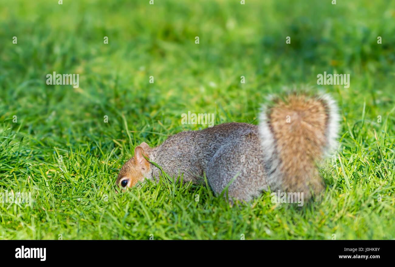 Grey Squirrel (Sciurus Carolinensis) on grass. - Stock Image