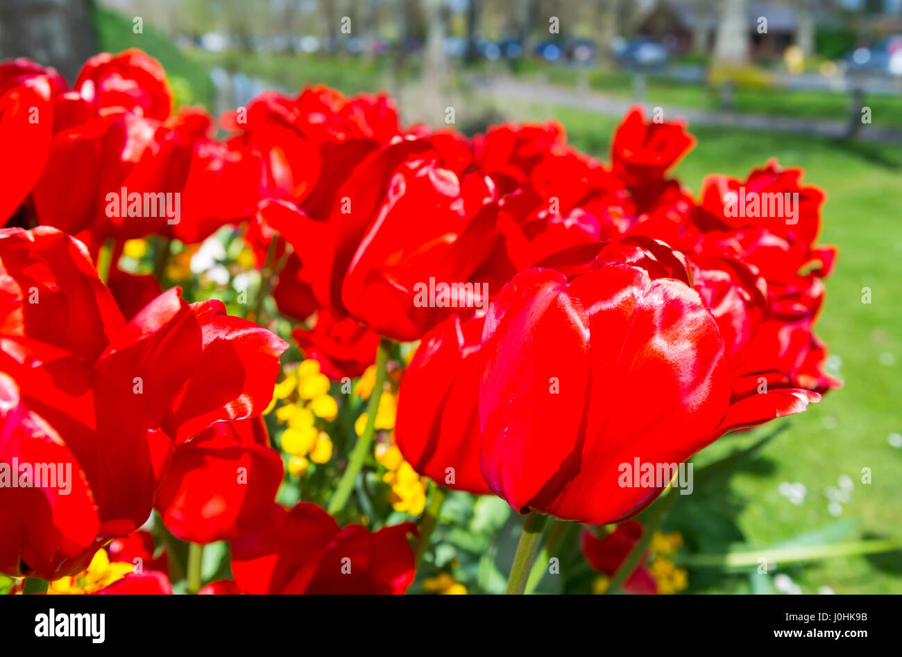 Red tulips (Tulipa) in bloom in Spring in West Sussex, England, UK. - Stock Image
