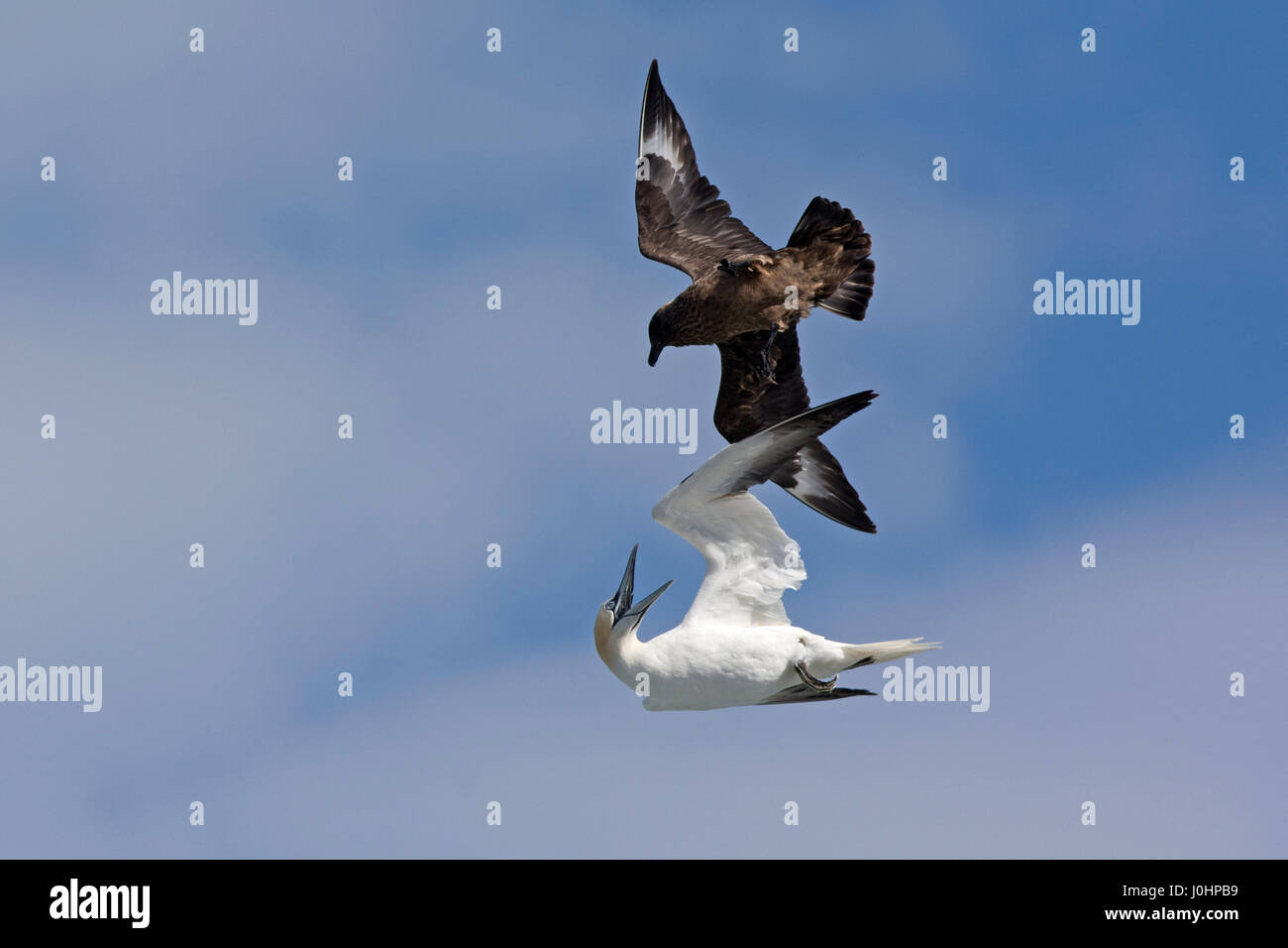 Great Skua Stercorarius skua attacking Gannet on route ack to its colony, to make it disgorge fish, behaviour known - Stock Image