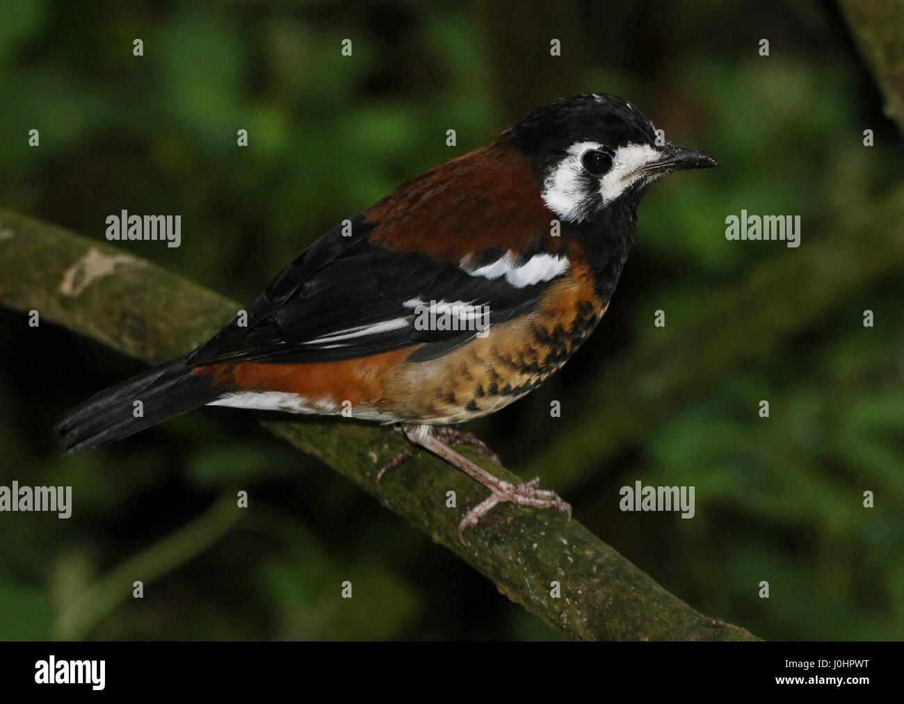 Asian Chestnut backed ground thrush (Geokichla dohertyi, Zoothera dohertyi), native to the Indonesian Sunda islands - Stock Image