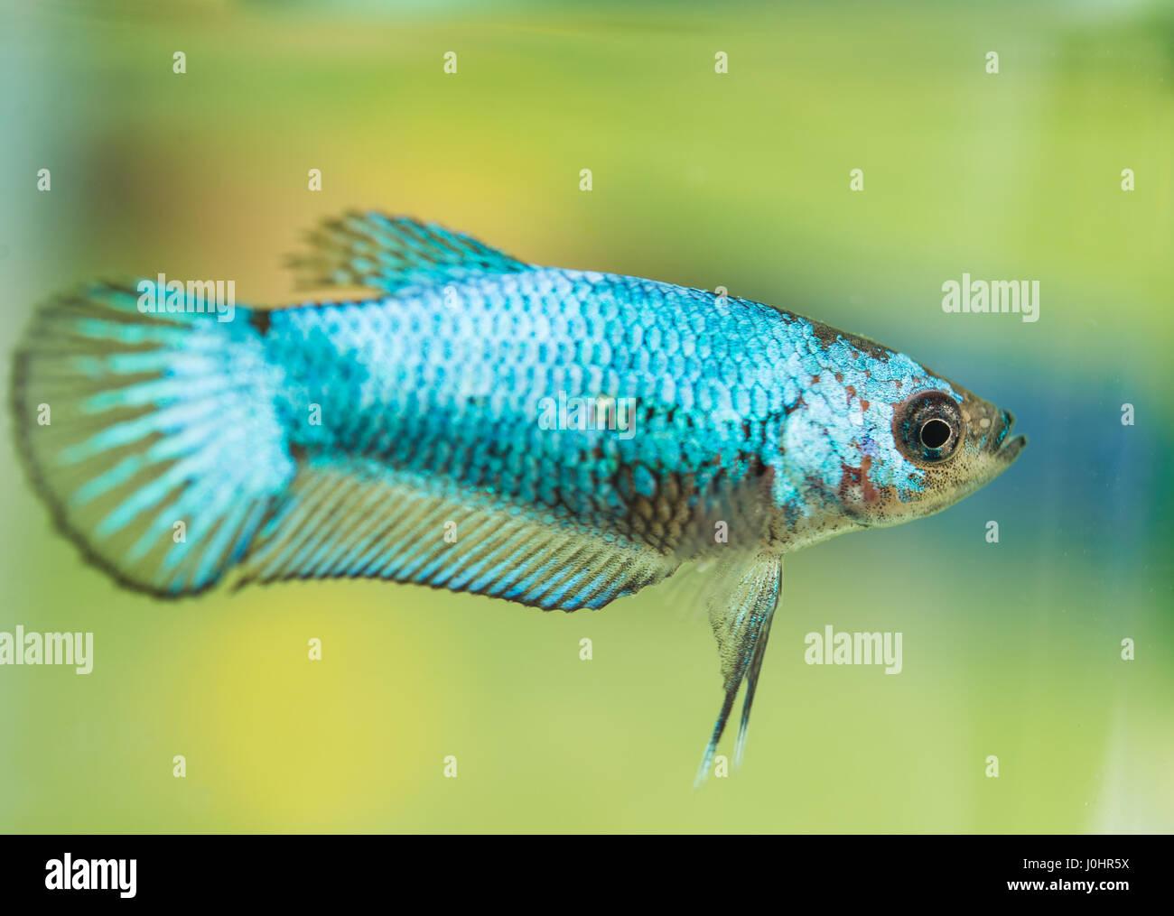 Green female betta splendens Stock Photo: 138074326 - Alamy