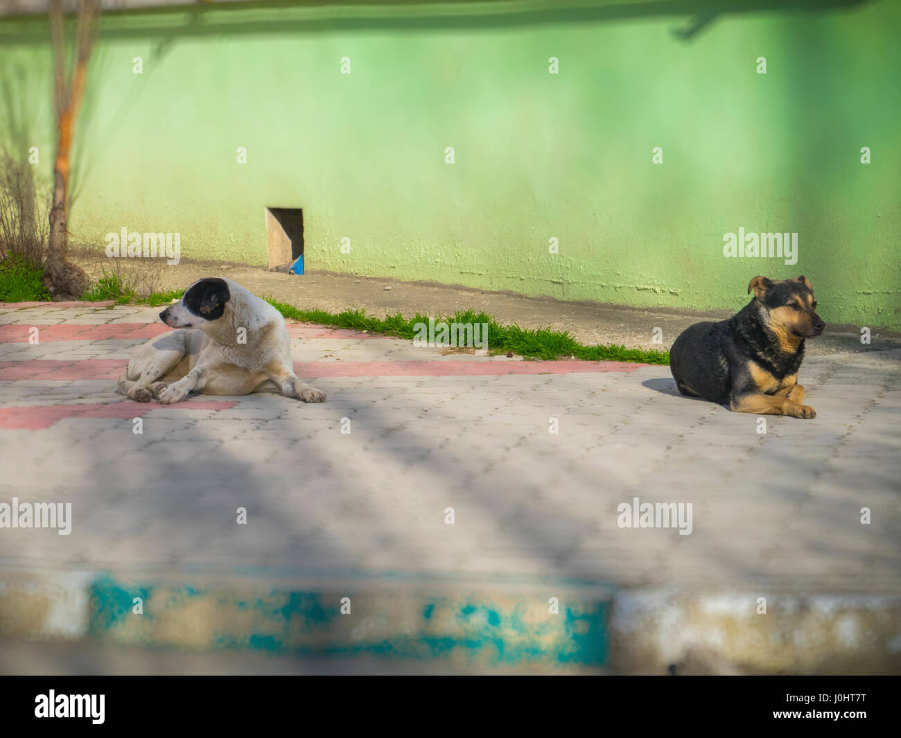Two dogs lie on the sidewalk tile - Stock Image