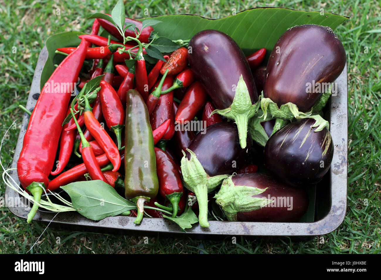 Freshly picked homegrown Black Beauty eggplants and chilis - Stock Image