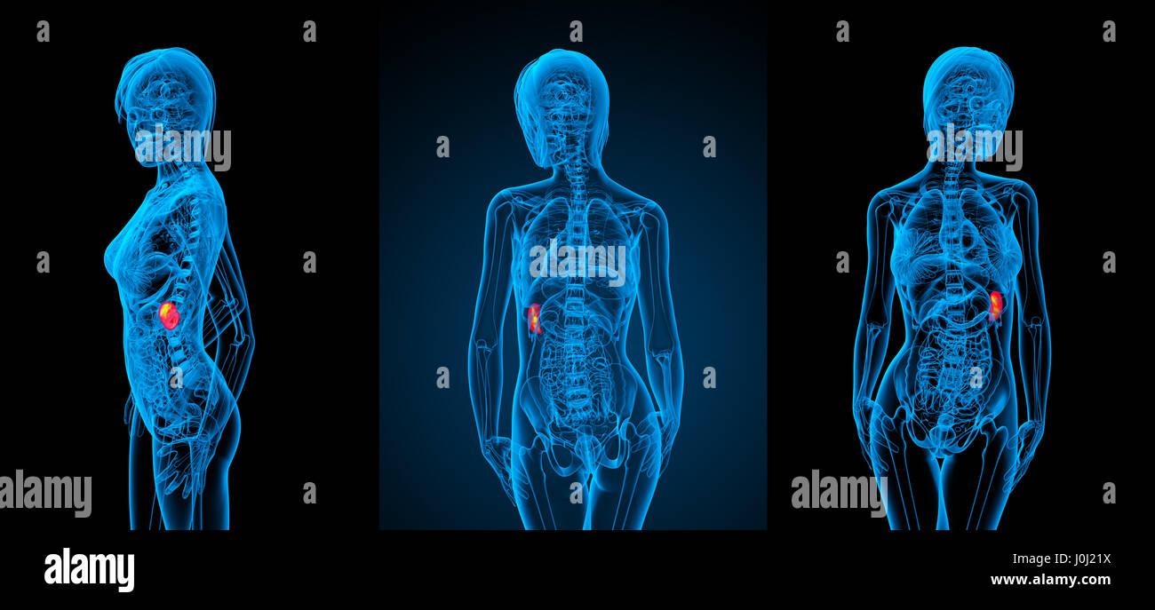 3d Rendering Medical Illustration Of The Spleen Stock Photo