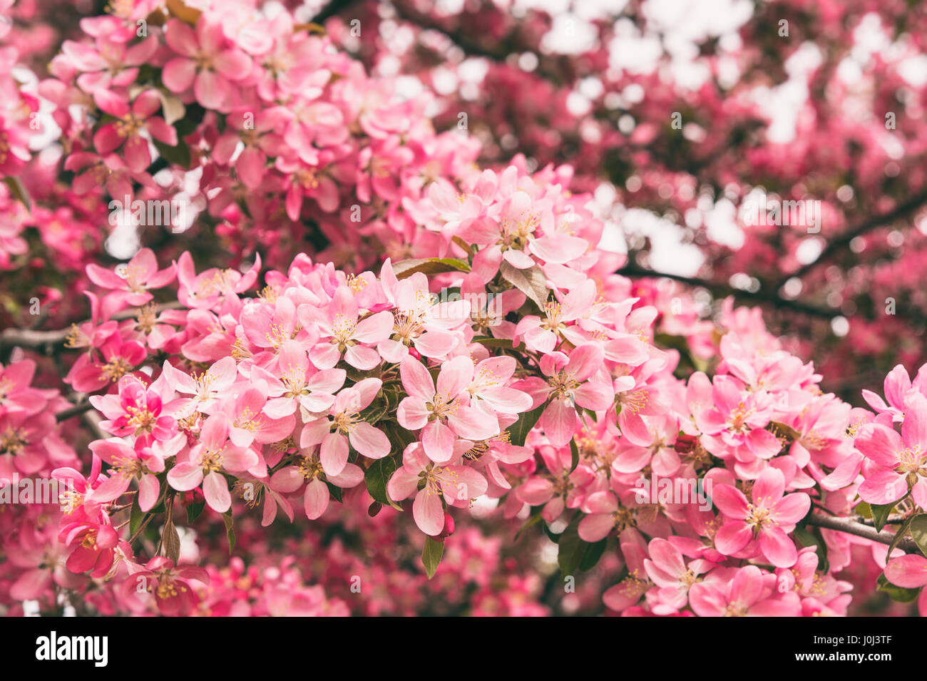 Crabapple tree in bloom with pink flowers stock photo 138081119 alamy crabapple tree in bloom with pink flowers mightylinksfo