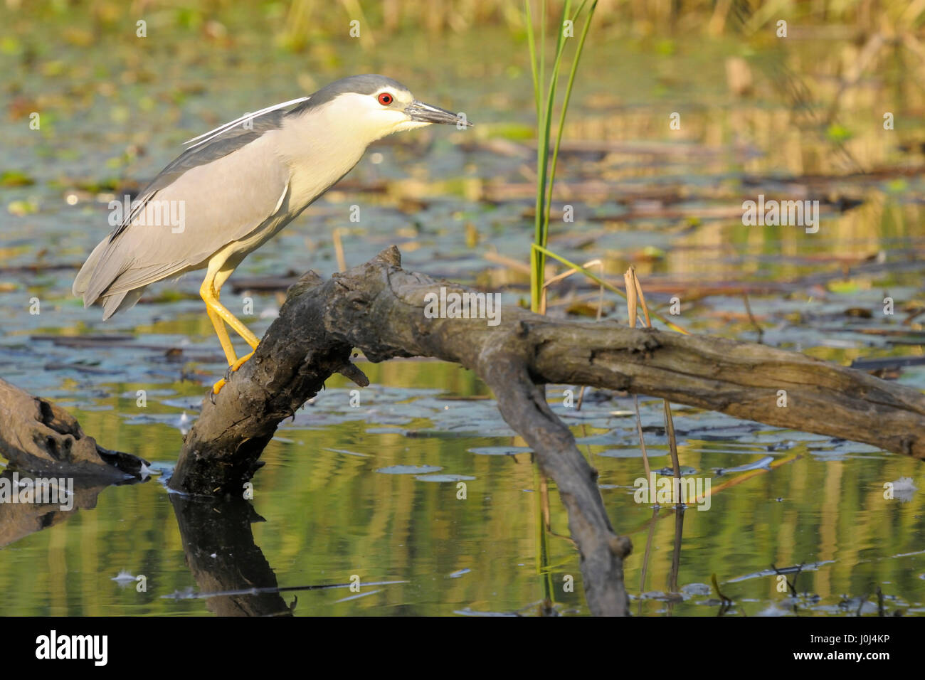 Night Heron (Nycticorax nycticorax) on a branch over water, Hortobagy national park, Hungary. - Stock Image