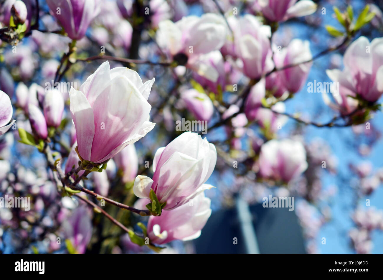 Close up view of blooming Magnolia in Spring in Germany Stock Photo
