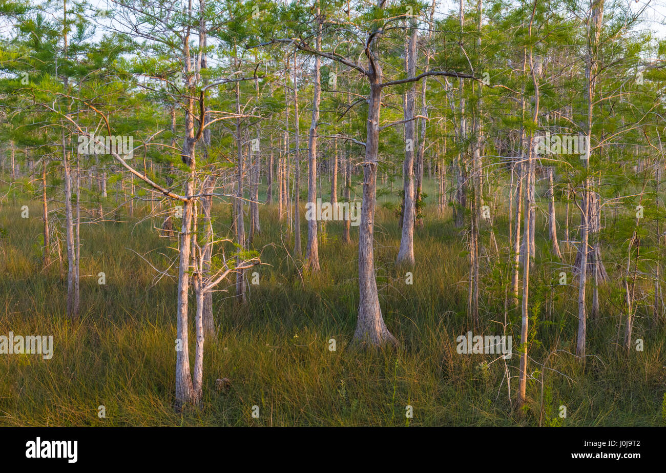 Drawf Cypress trees at  Kirby Storter Roadside Park along Route 41 in Big Cypress National Preserve in Southwest - Stock Image
