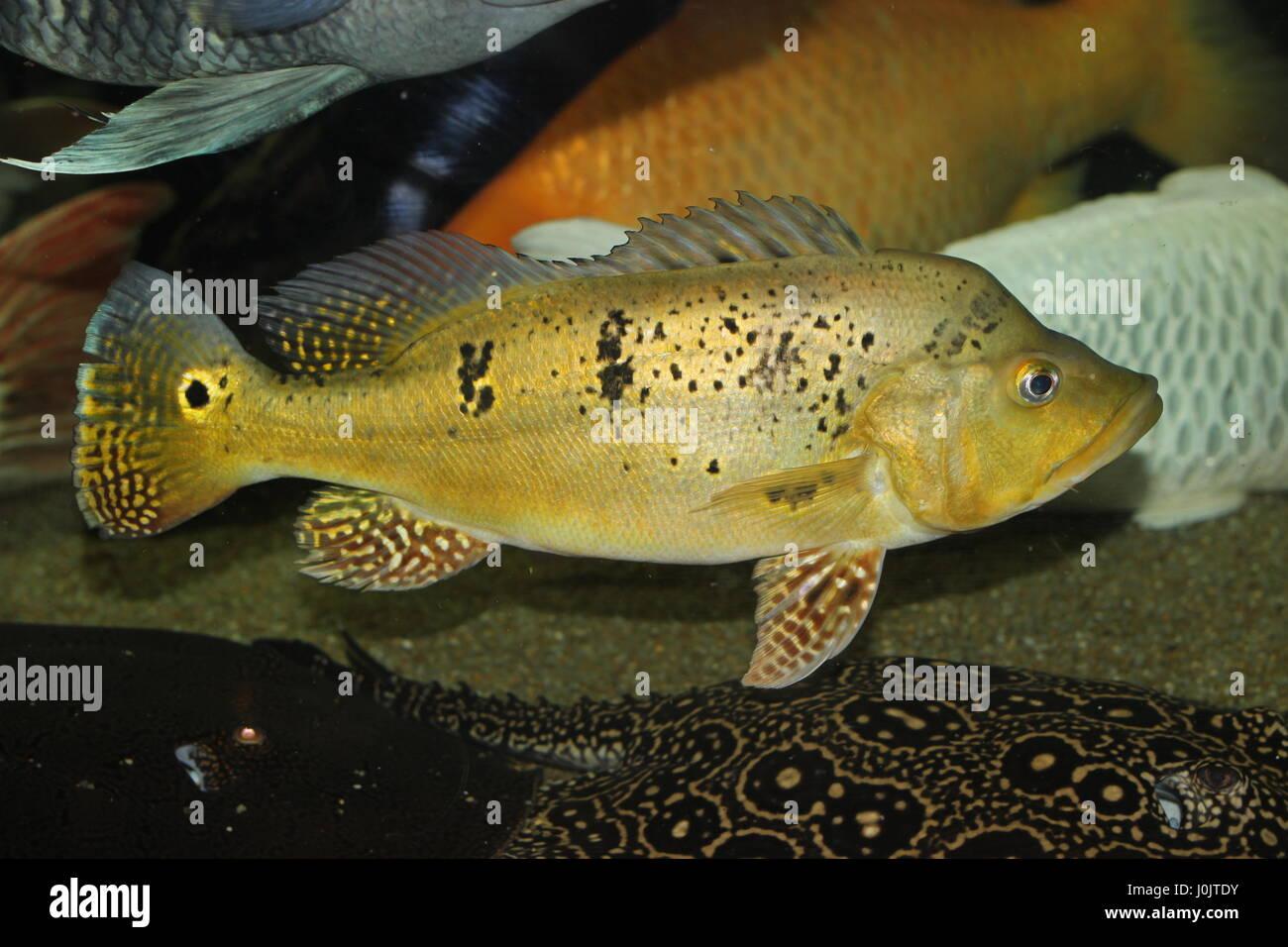 This is cichla kelberi - 2 y.o., 40 cm Stock Photo