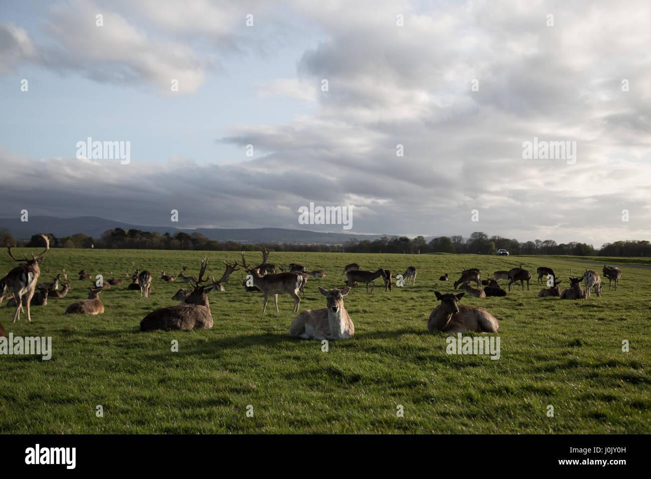 Deer in Phoenix Park, Dublin city, Ireland. - Stock Image