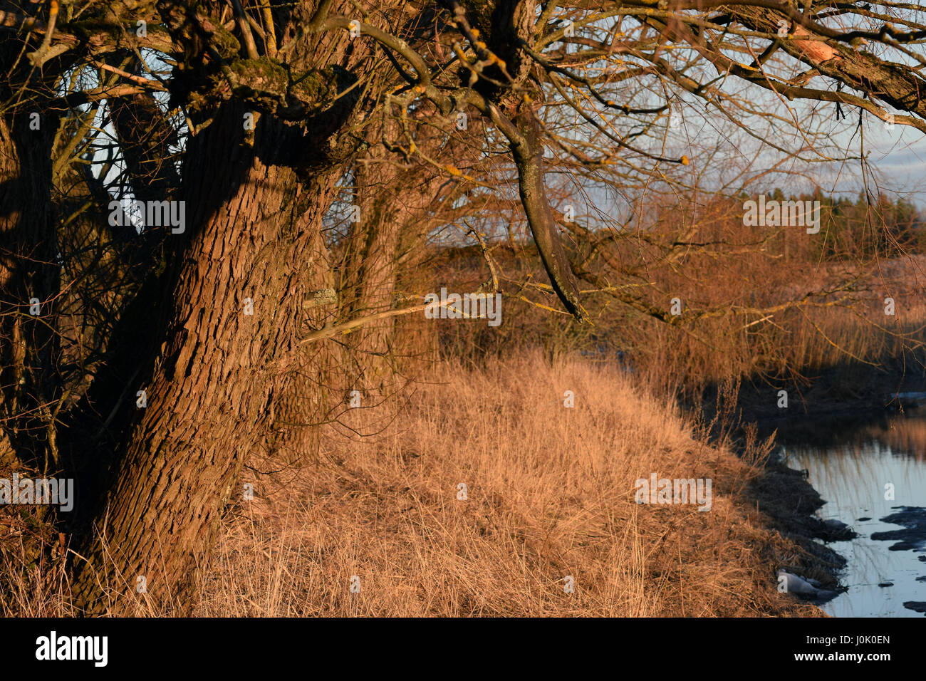 Trees on riverbank just before sunset. Horizontal image. - Stock Image