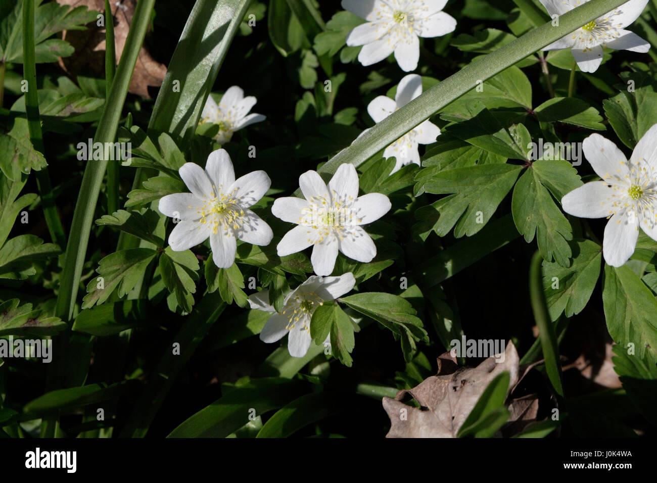 White Wild Woodland Flowers In Bloom Stock Photo 138103878 Alamy
