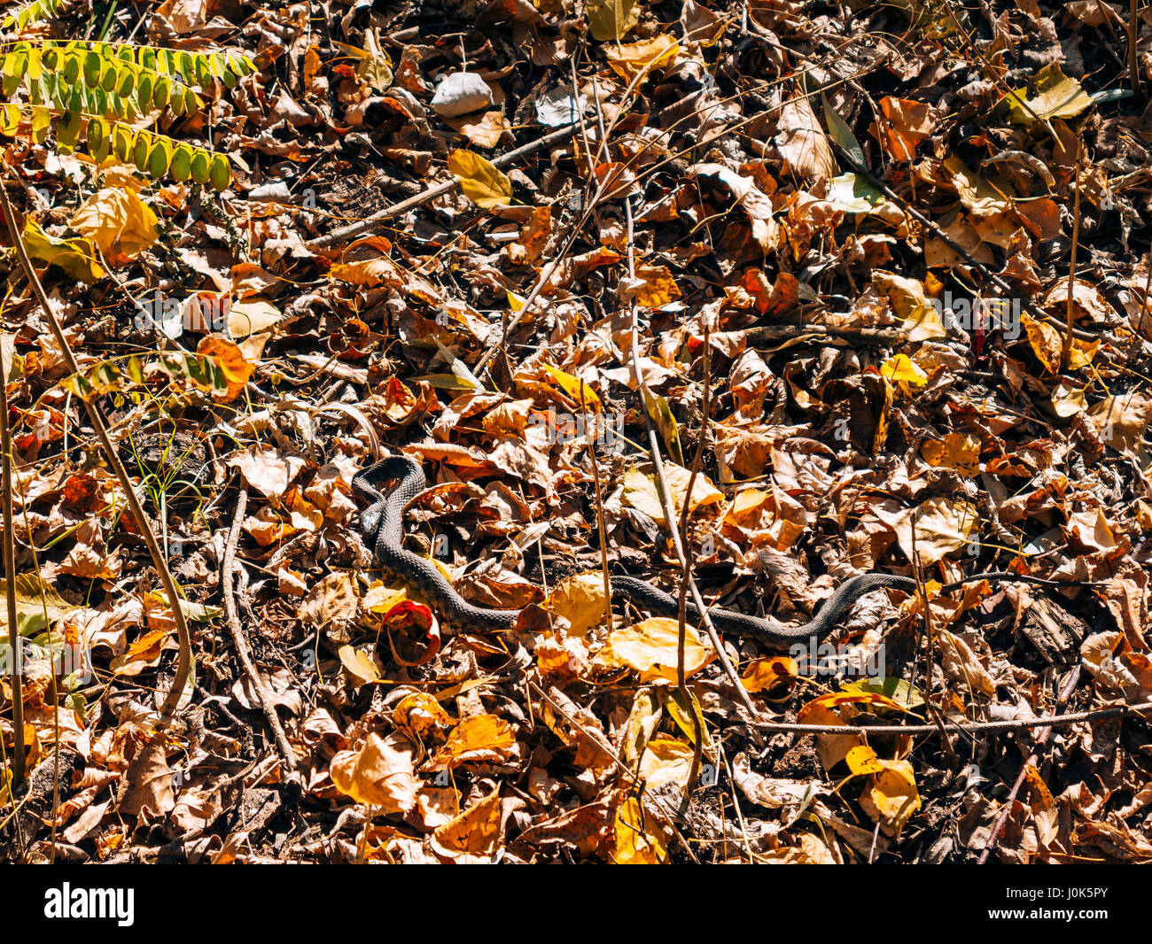 Black snake adder in dry leaves in the forest in autumn