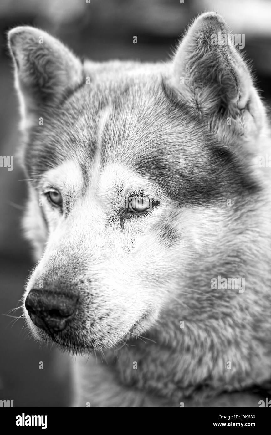 Old husky dog black and white portrait - Stock Image
