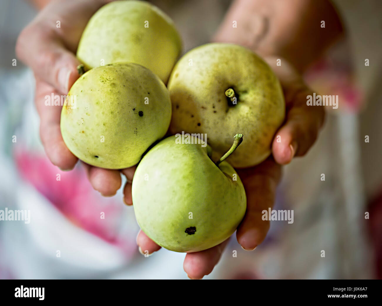 Woman holding green apples in her hands - Stock Image