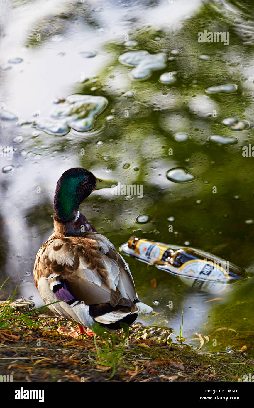 Mallard duck by the river with beer bottle floating - Stock Image