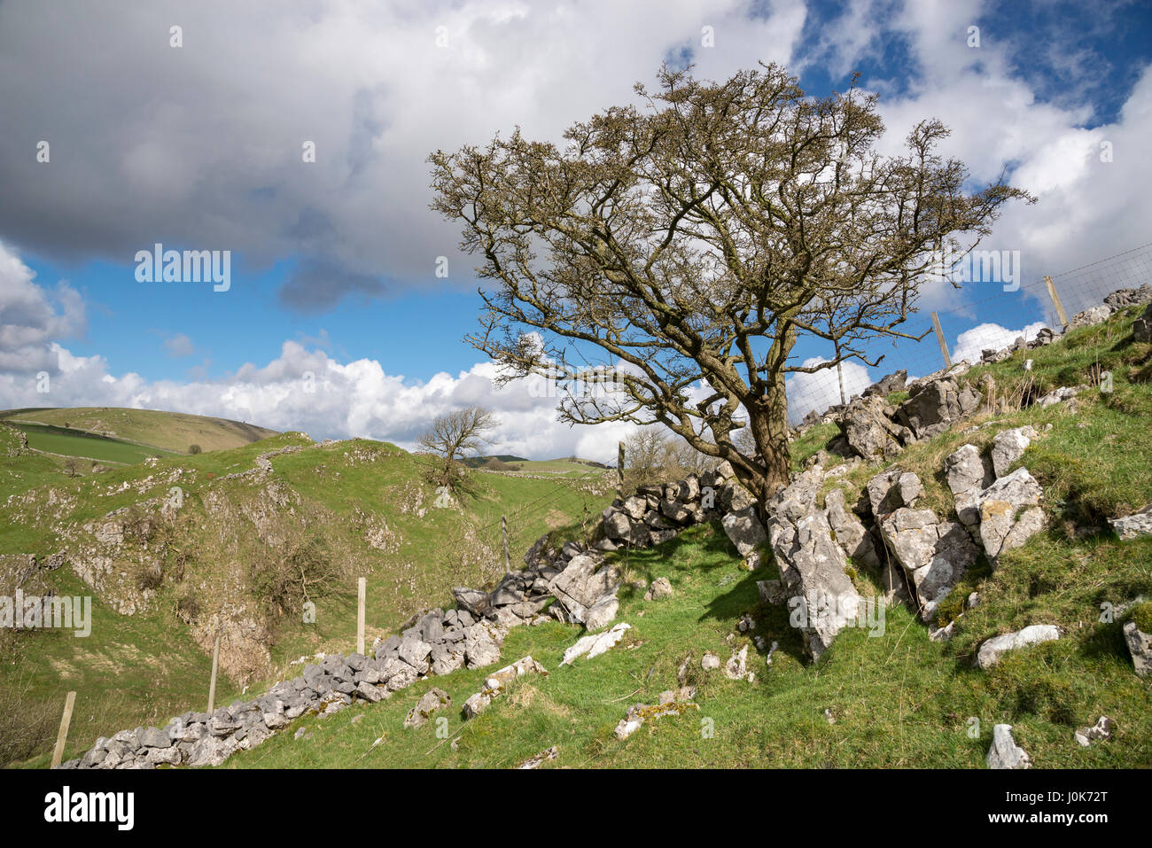 Gnarled old Hawthorn tree clinging to a rocky hillside in the White Peak area of the Peak District near Buxton, - Stock Image