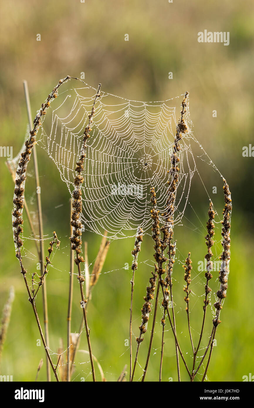 Misty morning spider webs stretched across plants in wild meadow location waltham brooks Pulborough UK wet glistening - Stock Image