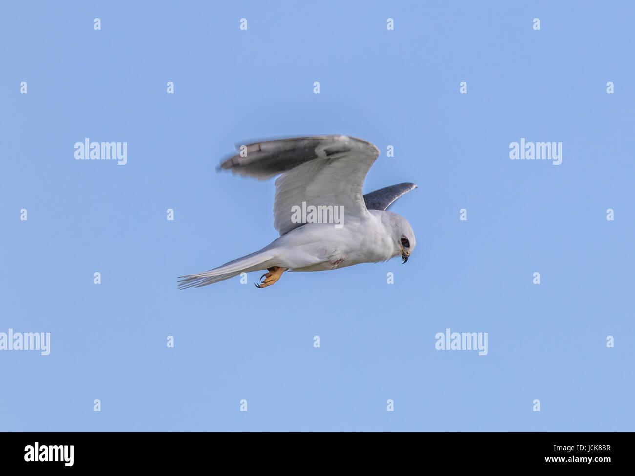 White-tailed Kite - Elanus leucurus, Adult. Stock Photo