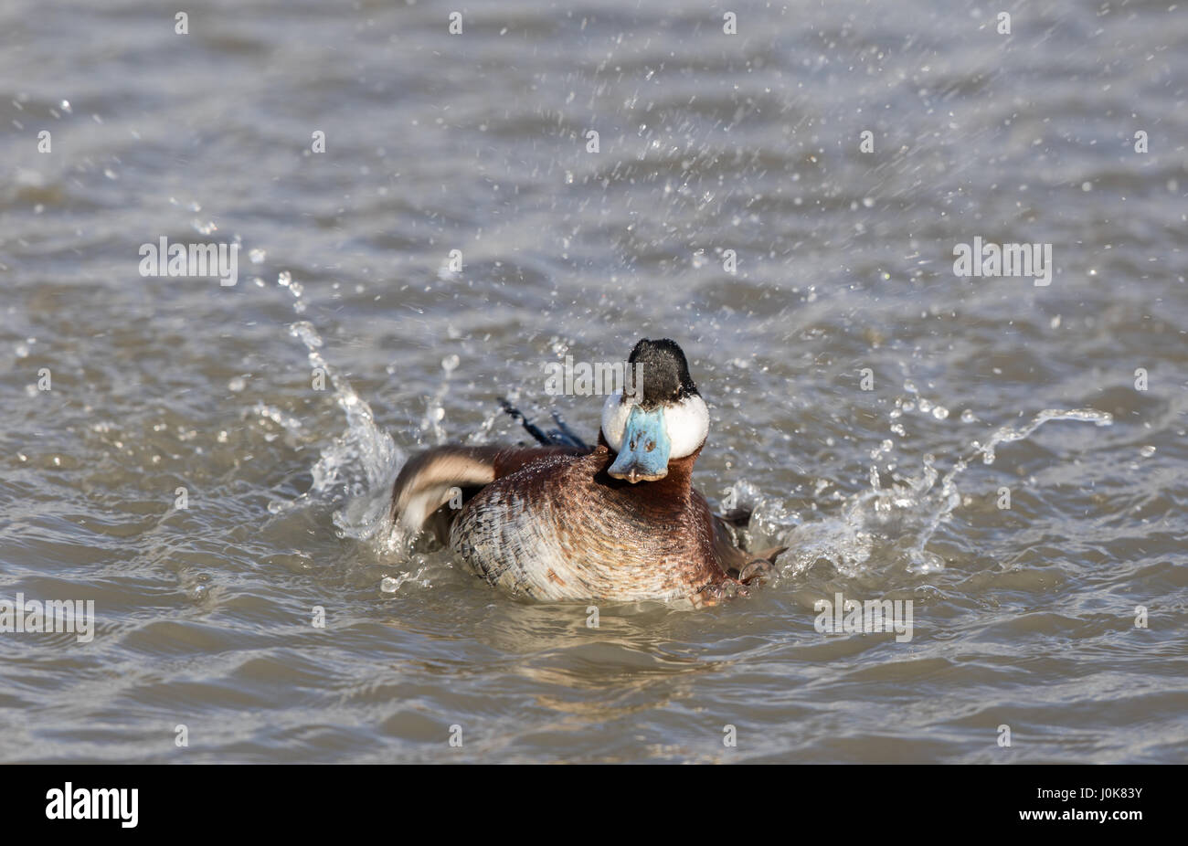 North American Ducks Stock Photos & North American Ducks ...