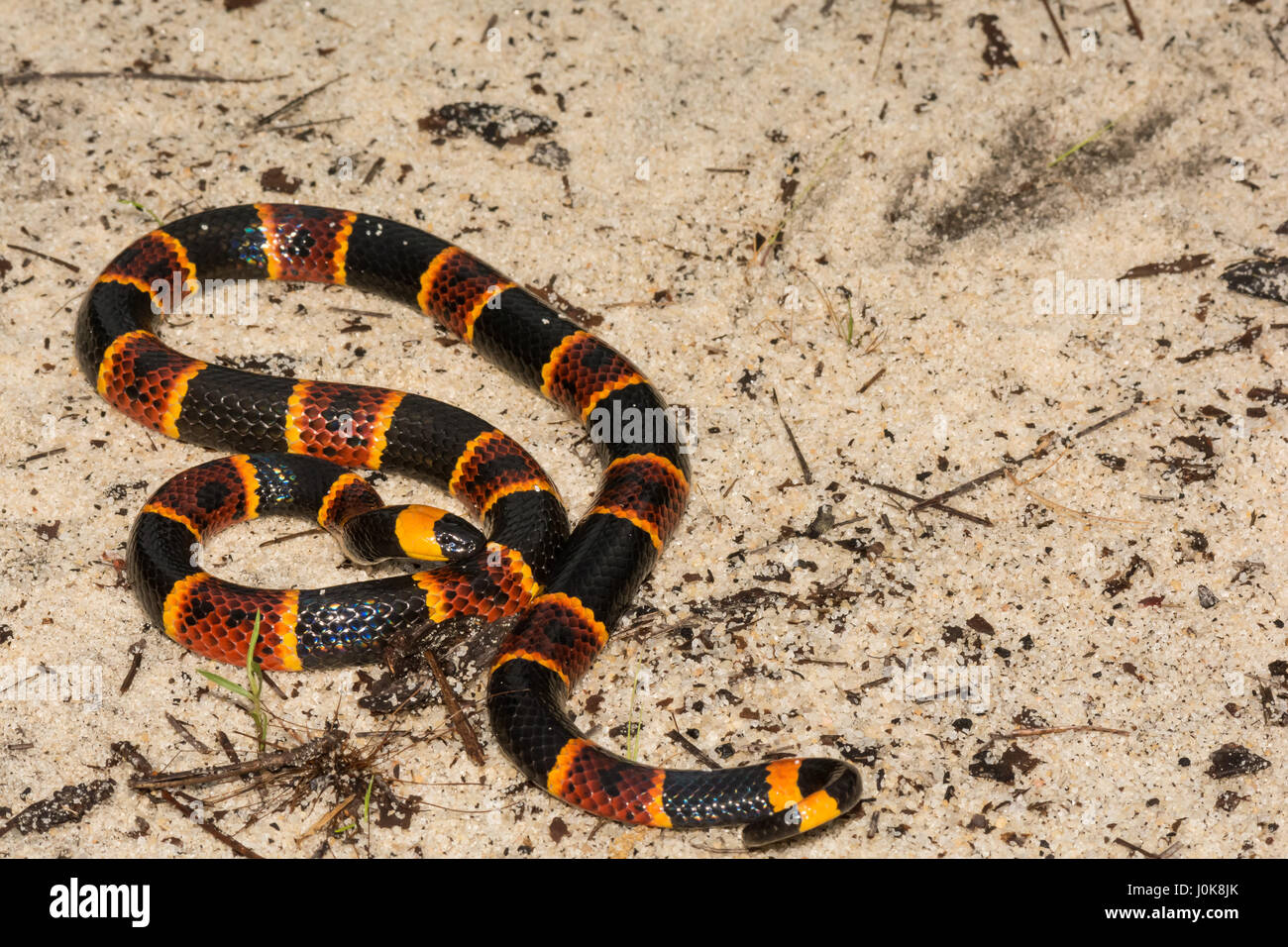 A close up of Eastern Coral Snake at Apalachicola National Forest in Florida. - Stock Image