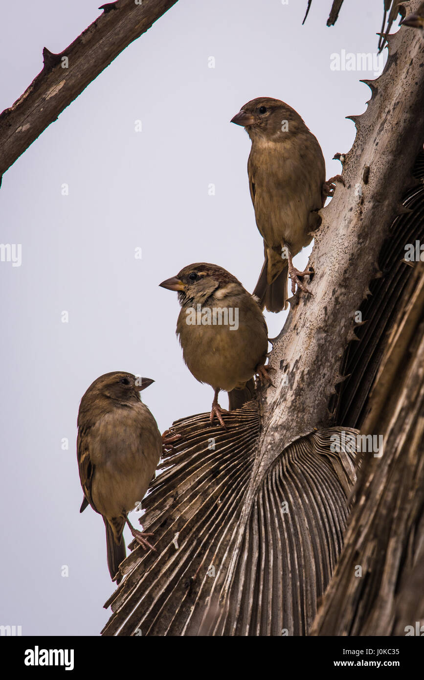 Sparrows on Palm Tree - Stock Image
