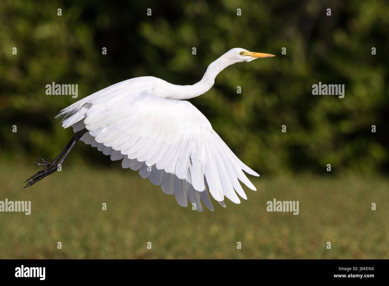 Intermediate Egret, The Gambia, West Africa - Stock Image