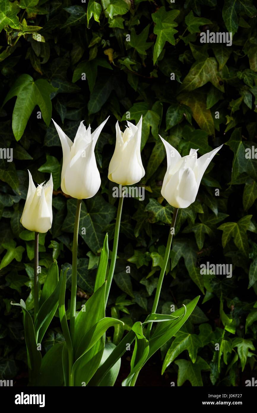 Tulipa Sapporo / Pale Yellow to White Lily shaped Tulip Stock Photo