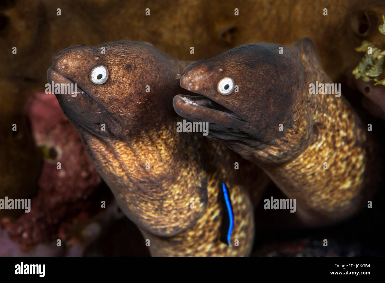 Pair of White-eyed Morays, Siderea prosopeion, Bali, Indonesia - Stock Image