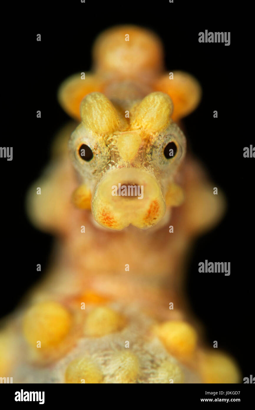 Bargibanti Pygmy Seahorse, Hippocampus bargibanti, Bali, Indonesia - Stock Image