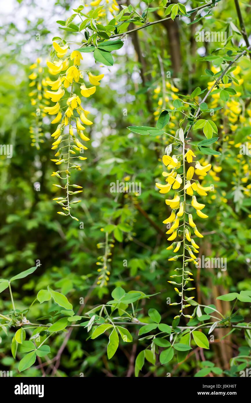 Golden Shower Tree Flower Stock Photos Golden Shower Tree Flower