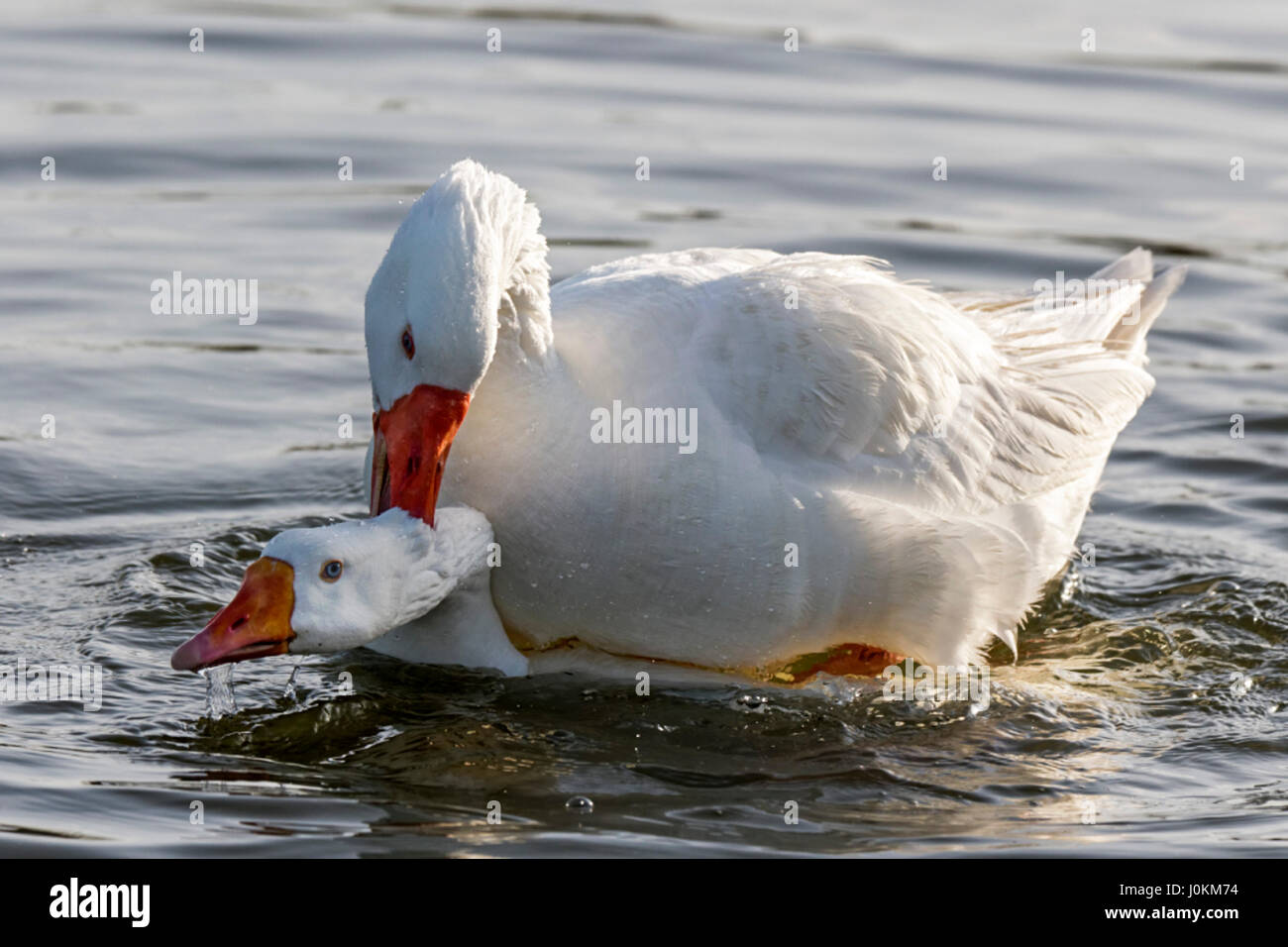 PEKIN DUCK IS A DOMESTICATED DUCK  WHEN MATING, THE MALE WILL MOUNT THE FEMALE AND PUSH HER HEAD UNDER WATER.  THEY - Stock Image