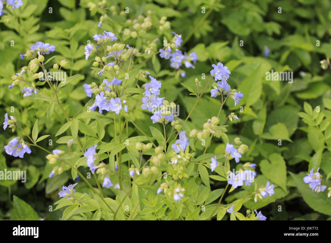 Spreading Jacobs Ladder Polemonium reptans North Carolina Botanical Garden - Stock Image