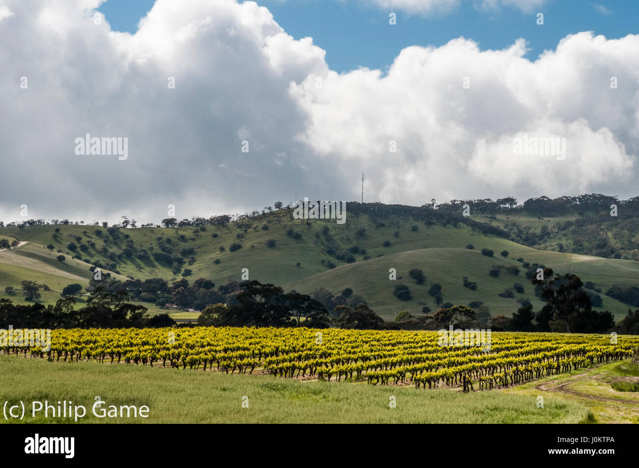 Vineyards of the Barossa Valley, South Australia - Stock Image