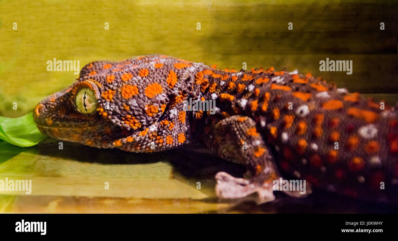 orange-brown spotted gecko - Stock Image