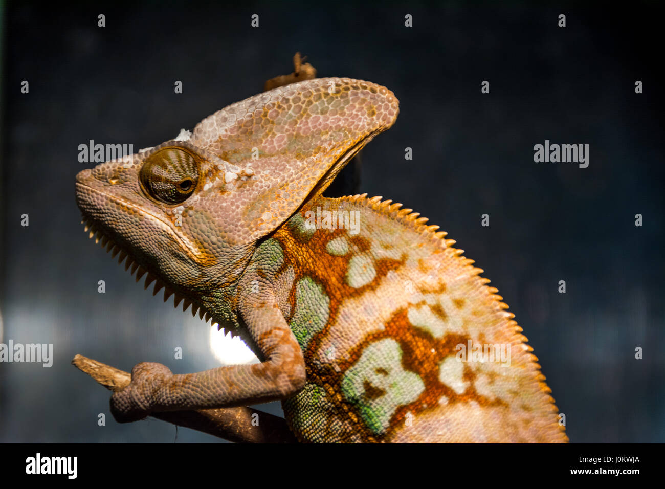 chameleon portrait that looks very unhappy - Stock Image