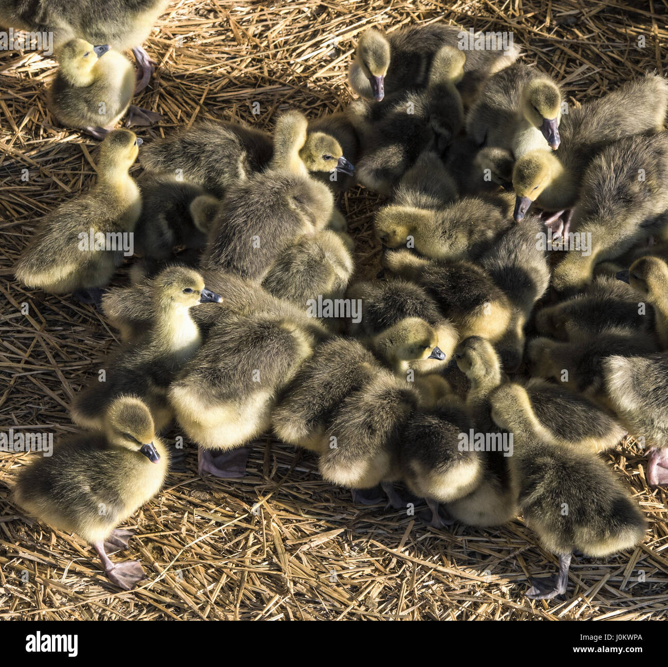 Industrial poultry agriculture, ducklings in farm. - Stock Image