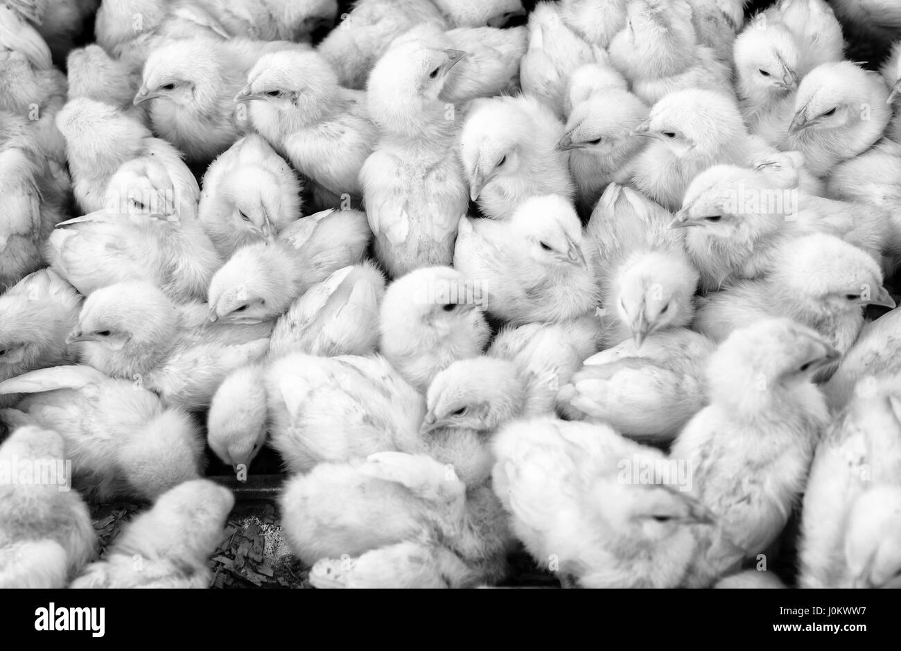 Large group of newly hatched chicks on a chicken farm, black and white. - Stock Image
