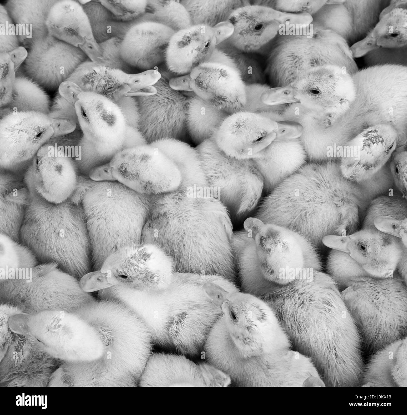 Large group of newly hatched ducklings on a farm, black and white. - Stock Image