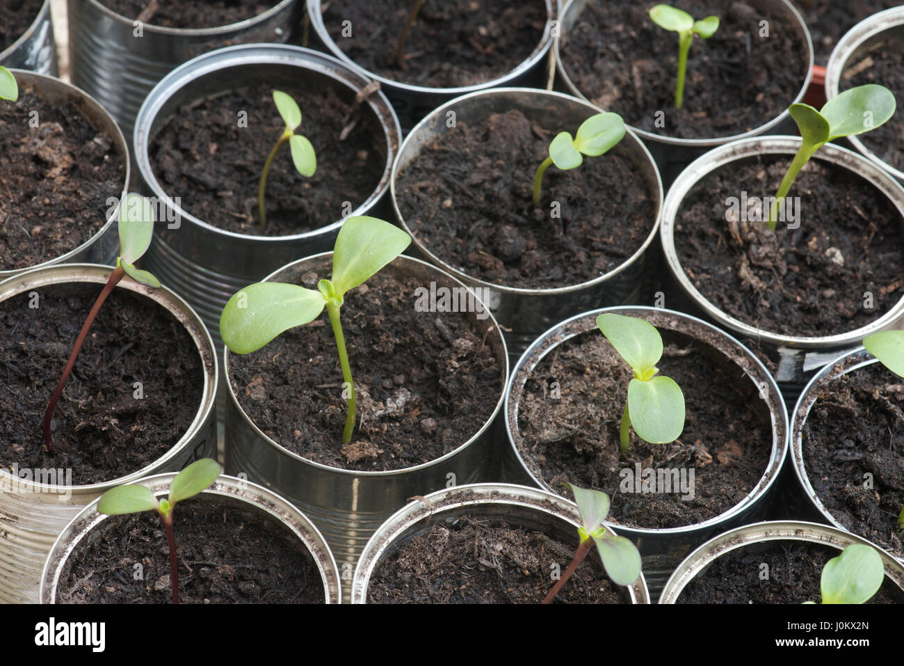 Helianthus annuus. Sunflower seedlings in tin cans Stock Photo