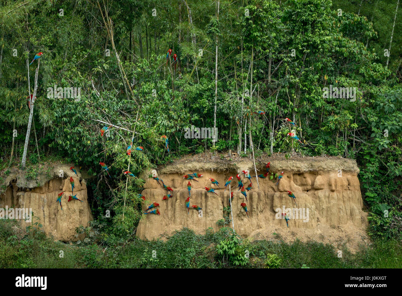 Redandgreen ara parrots watching in the Manu National Park, Peru. They are eating mineral-clay at a clay lick. - Stock Image