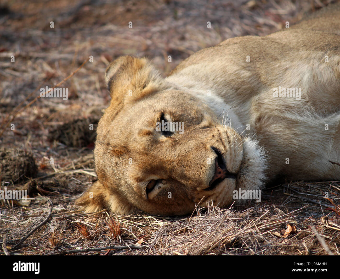 Lioness looking directly into the camera - Stock Image