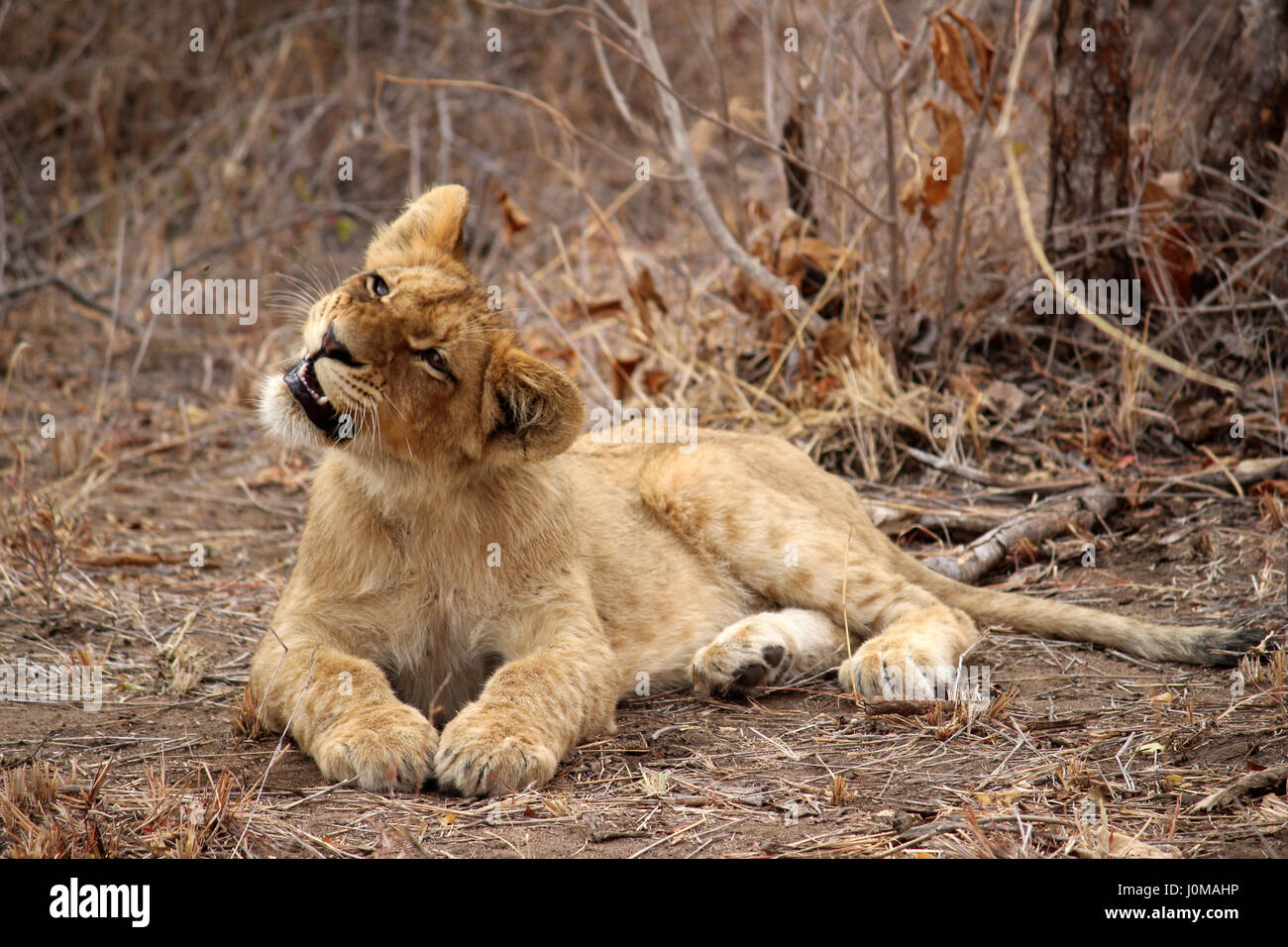 Lion Cub trying to catch a fly with its mouth - Stock Image