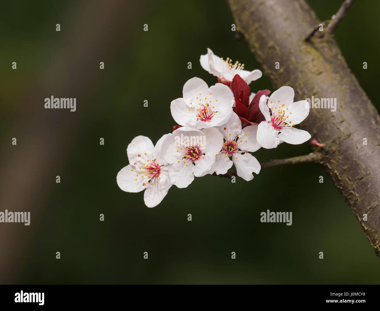 Spring flowers series prunus cerasifera or common names cherry plum spring flowers series prunus cerasifera or common names cherry plum and myrobalan plum branch with flowers and leaves mightylinksfo