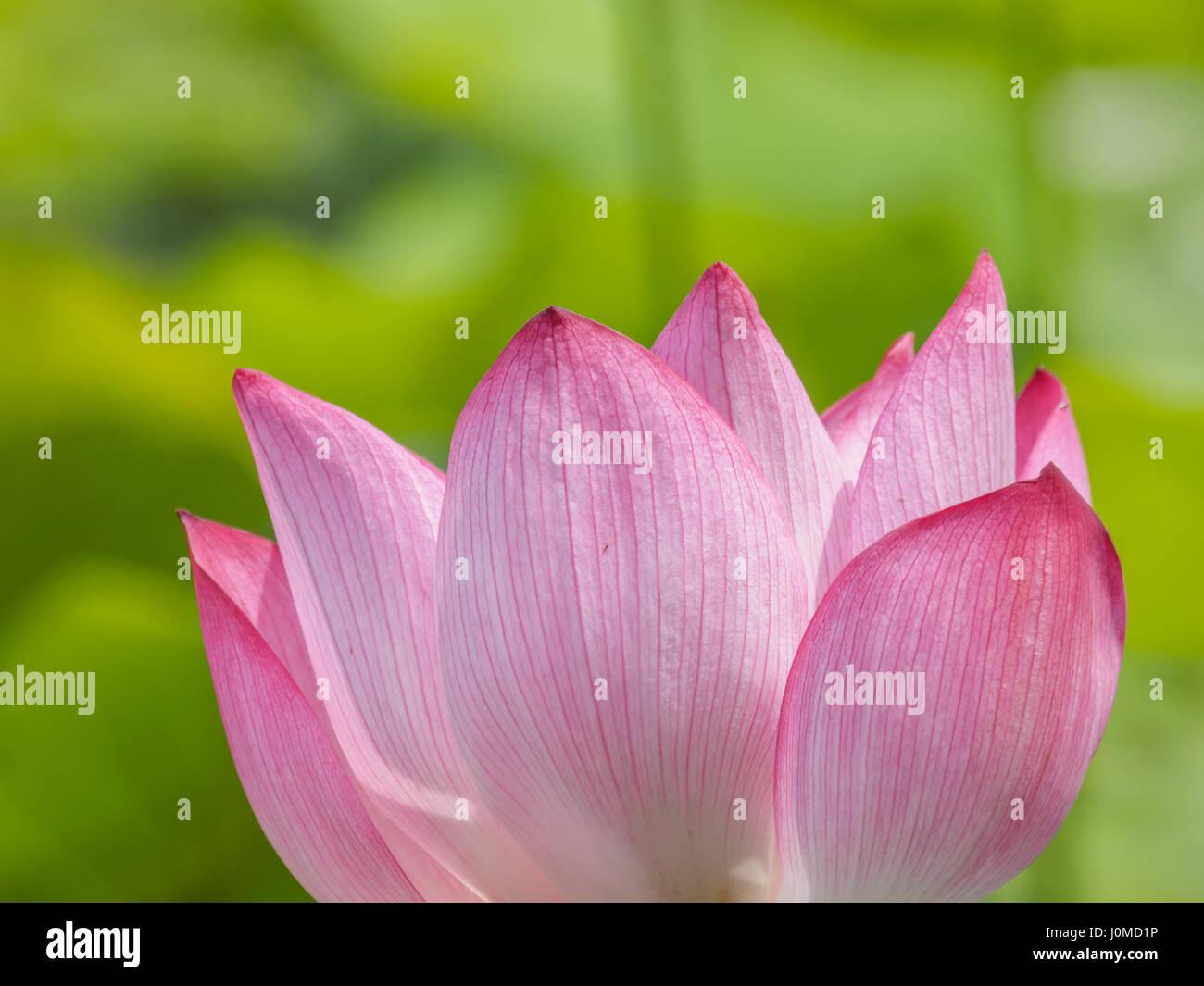 Summer flowers series, beautiful pink lotus flowers. - Stock Image