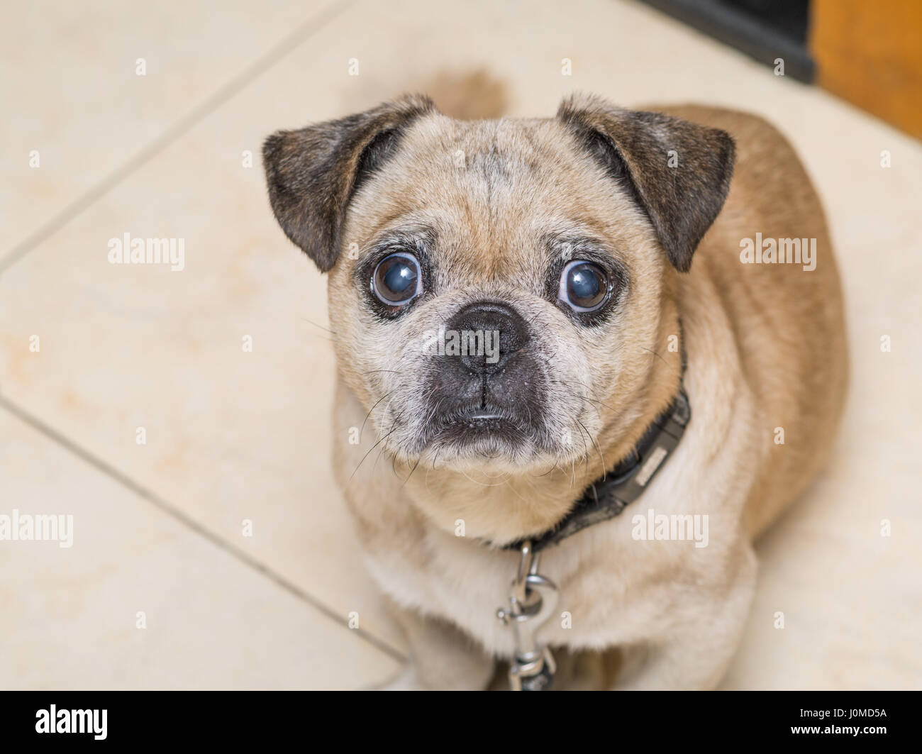 Almond The Pug, eyes open, rest on ground. - Stock Image