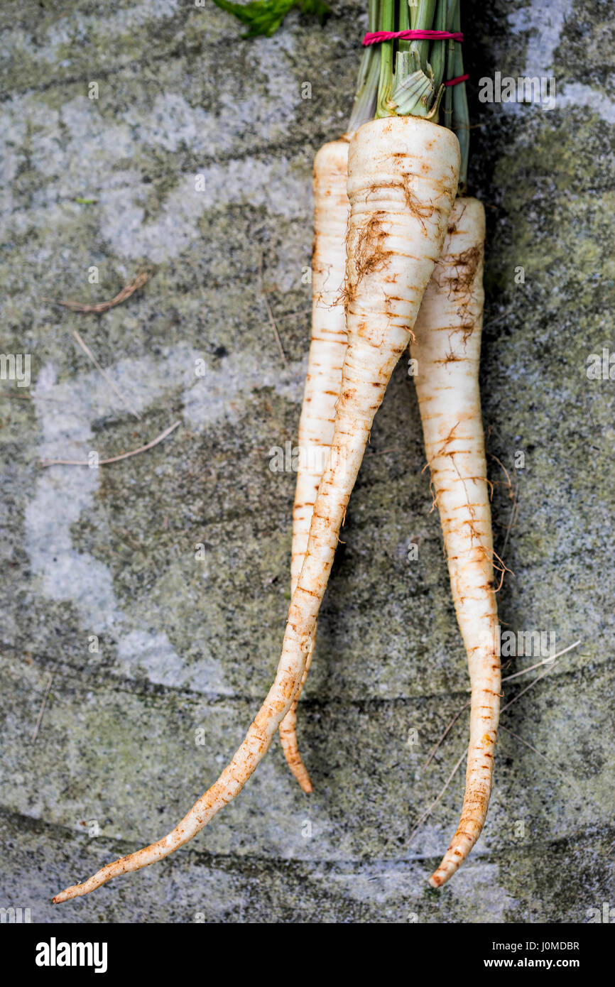 Raw parsnip root - Stock Image