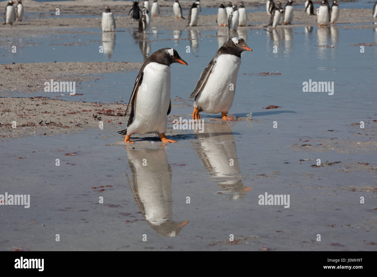 Gentoo Penguins on Bleaker Island Stock Photo