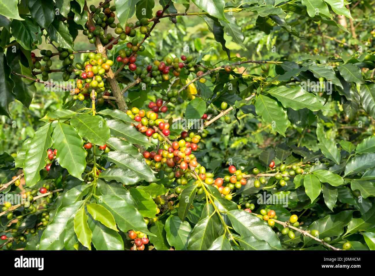 Coffee 'Arabica', closeup of maturing beans. - Stock Image