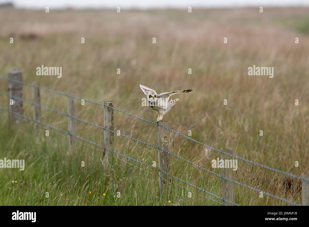 Short Eared Owl; Asio flammeus Single on Fence Post Orkney; Scotland; UK Stock Photo